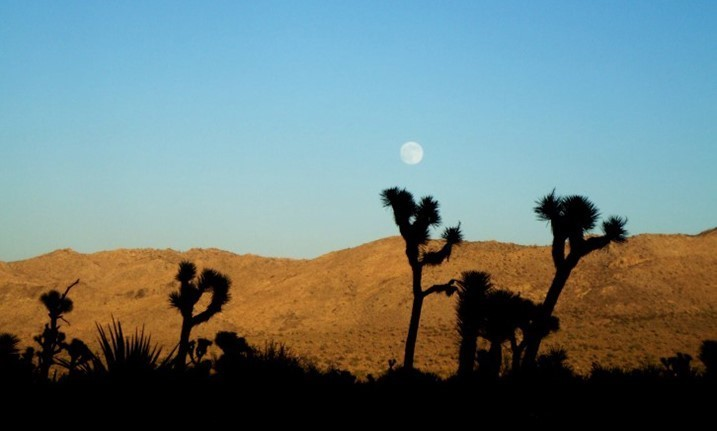 Joshua Trees with Mountain and Background