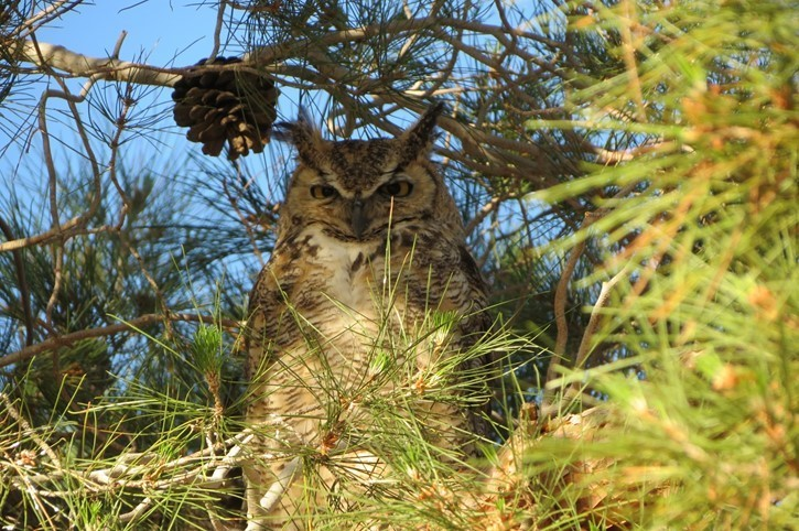 Great Horned Owl May 2019
